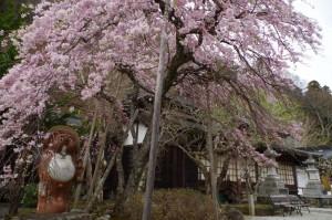 桜の開花状況のお知らせ
