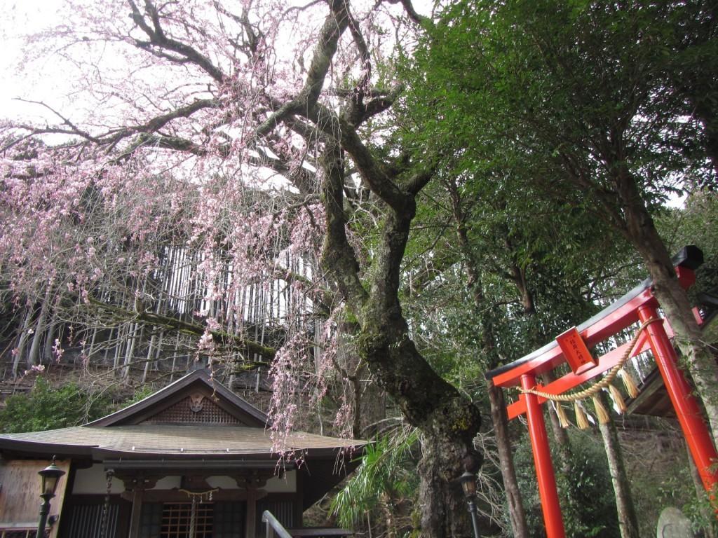 桜だよりR2.3.31